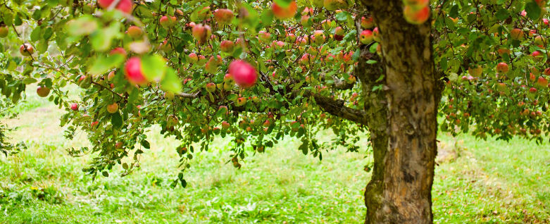 Apples fruits in your garden? – Apples Poland